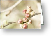Boho Greeting Cards - Quince Buds Close-up Greeting Card by Agnieszka Kubica