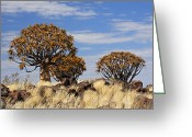 Quiver Greeting Cards - Quiver Tree Forest - Namibia Greeting Card by Jlr