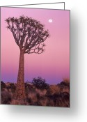 Quiver Greeting Cards - Quiver Tree Which Is Also Known As A Kokerboom Tree At Dawn With Three Quarter Moon Taken In Namibia, Africa Greeting Card by Russell Burden