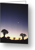 Quiver Greeting Cards - Quiver Trees (aloe Dichotoma) Beneath Moon, Dusk Greeting Card by Gallo Images-Lanz von Horsten