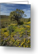 Quiver Greeting Cards - Quiver Trees (aloe Dichotoma) Greeting Card by Bob Gibbons