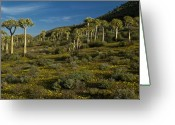 Quiver Greeting Cards - Quiver Trees and Wildflowers Greeting Card by Michele Burgess