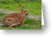 Rabbit Prints Greeting Cards - Rabbit Greeting Card by Angie McKenzie