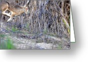 Hare Greeting Cards - Rabbit in Flight . 40D12006 Greeting Card by Wingsdomain Art and Photography