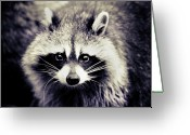 Animal Head Greeting Cards - Raccoon Looking At Camera Greeting Card by Isabelle Lafrance Photography