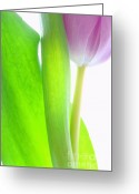 Tulip Greeting Cards - Radiant Beauty Greeting Card by Kristin Kreet