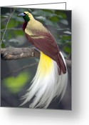 Tail Feather Greeting Cards - Raggiana Bird-of-Paradise  Greeting Card by Cyril Ruoso