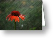 Asteraceae Greeting Cards - Rain Greeting Card by Darren Fisher
