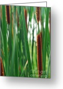 Merrimac Greeting Cards - Rain Drop on a Cat Tail Greeting Card by Chris Howe
