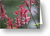 Florida Flowers Greeting Cards - Rain Drops on Firespike  Greeting Card by Rich Franco