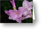 Purple Gladiola Greeting Cards - Rain Flower 1 Lavender Greeting Card by Andee Photography