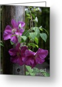 Floral Greeting Cards - Rain Kissed Clematis  Greeting Card by Lynn-Marie Gildersleeve