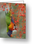 Colorful Birds Photo Greeting Cards - Rainbow Lorikeet Greeting Card by Bob Christopher