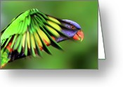 Queensland Photo Greeting Cards - Rainbow Lorikeet Greeting Card by Vanessa Mylett