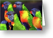 Queensland Photo Greeting Cards - Rainbow Lorikeets Greeting Card by Mark Tyacke VisionAiry Photography