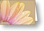Peachy Greeting Cards - Raindropped Daisy Greeting Card by Bonnie Bruno