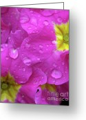 Primrose Greeting Cards - Raindrops on Pink Flowers Greeting Card by Carol Groenen