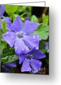 Trailing Greeting Cards - Raindrops on Trailing Myrtle Greeting Card by Thomas R Fletcher