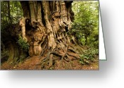 Olympic National Park Greeting Cards - Rainforest With Giant Red Ceder Trees Greeting Card by Tim Laman