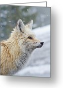 Vulpes Greeting Cards - Rainier Red Fox Greeting Card by Rich Leighton
