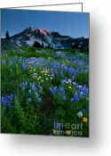 Aster  Photo Greeting Cards - Rainier Wildflower Dawn Greeting Card by Mike  Dawson