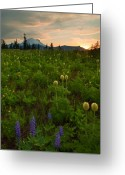 Lupine Greeting Cards - Rainier Wildflower Light Greeting Card by Mike  Dawson