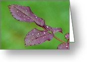 Roses Photos Greeting Cards - Rainy Day Greeting Card by Juergen Roth