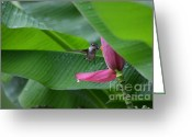 Banana Tree Greeting Cards - Rainy Days Dont Get Me Down  Greeting Card by Kathy Gibbons