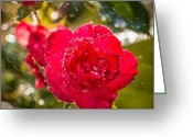 Igdaily Greeting Cards - Rainy Rose. #flowers #rain #photos Greeting Card by Adam Romanowicz