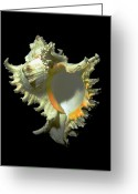 Skeletal Greeting Cards - Rams Horn Seashell Murex ramosus Greeting Card by Frank Wilson