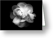 Black And White Flower Greeting Cards - Ranunculus Flower Greeting Card by Annfrau