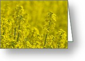 Rapeseed Greeting Cards - Rapeseed Blossoms Greeting Card by Melanie Viola