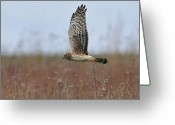 Prairie Greeting Cards - Raptor Greeting Card by Photo by DCDavis
