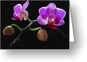 Flower Over Black Photo Greeting Cards - Rare Beauty Greeting Card by Juergen Roth