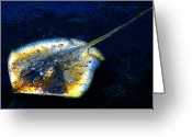 Sea Life Digital Art Greeting Cards - Ray Greeting Card by David Lee Thompson