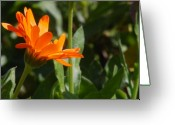 Orange Daisy Photo Greeting Cards - Reach for the Sun 2 Greeting Card by Amy Fose