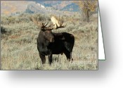 Moose Bull Greeting Cards - Ready And Waiting Greeting Card by Sandra Bronstein