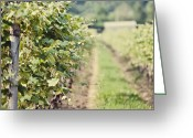 Grapevines Greeting Cards - Ready for Harvest  Greeting Card by Lisa Russo