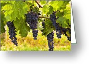 Okanagan Greeting Cards - Ready for Harvest Greeting Card by Marion McCristall