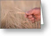 Idaho Artist Greeting Cards - Ready to Harvest Greeting Card by Cindy Singleton