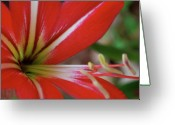 Macro Greeting Cards - Red and White Greeting Card by Kimberly Gonzales