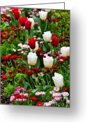 Flowerbed Greeting Cards - Red and White Tulips with Red and Pink English Daisies in Spring Greeting Card by Louise Heusinkveld