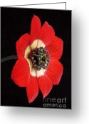 Natural History Greeting Cards - Red Anemone Greeting Card by Richard Garvey-Williams