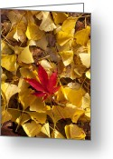 Japanese Maple Greeting Cards - Red Autumn Leaf Greeting Card by Garry Gay