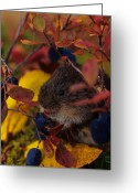 Foraging Greeting Cards - Red Backed Vole With Blueberry Greeting Card by Michael S. Quinton