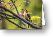 Spring-blooming Greeting Cards - Red Bellied in Tree Greeting Card by Bill Tiepelman