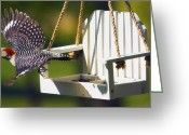 Feeding Digital Art Greeting Cards - Red-Bellied Woodpecker in Flight Greeting Card by Bill Tiepelman