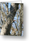 Woodpecker Photos Greeting Cards - Red Bellied Woodpecker Greeting Card by Neal  Eslinger