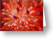 Bromeliad Greeting Cards - Red Bromeliad Greeting Card by Rich Franco