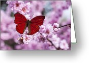 Butterfly Greeting Cards - Red butterfly on plum  blossom branch Greeting Card by Garry Gay